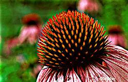 12017Cone_Flower1S2.jpg