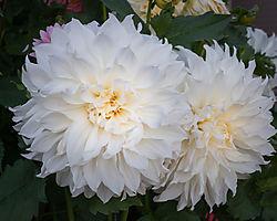 White_Dahlia1.jpg