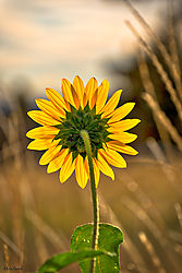 sunflowerrearview.jpg
