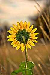 sunflowerrearview.jpg