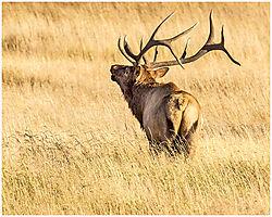 Elk_bugling.jpg