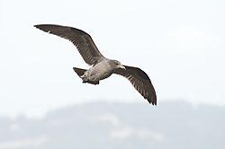 Seagull_001.jpg