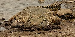 CrocFace.jpg