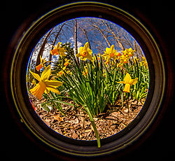 Daffodils-9470.jpg