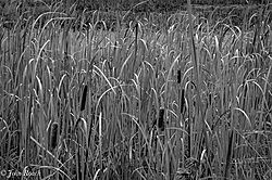 Cat_tails_in_Black_and_White-.jpg