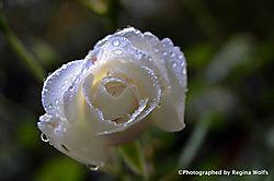 witte-roos02.jpg