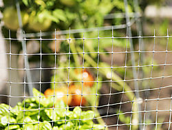 DSC_9630_Fence_and_Tomatoes.jpg