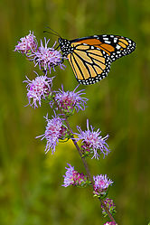 Monarch-10.jpg