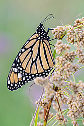Monarch-22.jpg