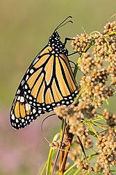 Monarch-31.jpg