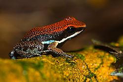 Sanguine_Poison_Frog-01.jpg