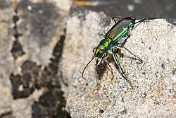 Splendid_Tiger_Beetle-6.jpg