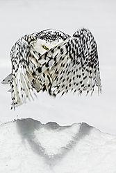 Snowy-The-Magician.jpg