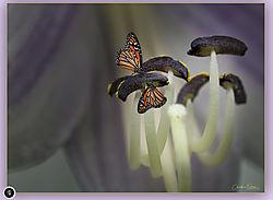 Monarchs_on_Osta.jpg