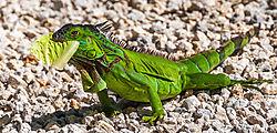 Iguana12.jpg