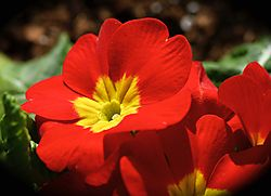 Primrose_-_March_2015.jpg