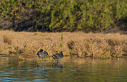 Pair-of-Coots_0387-3.jpg
