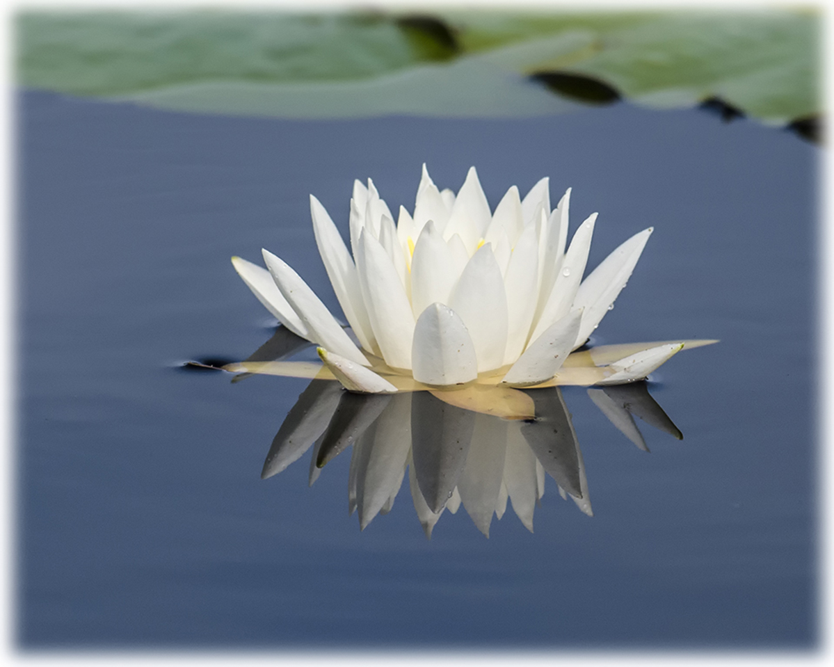 Water_lily5
