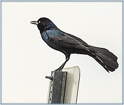 Boat-tailed_Grackle.jpg