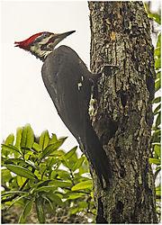 Pileated_Woodpecker-2.jpg