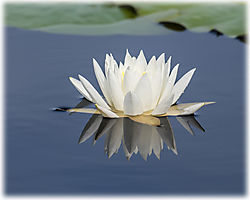 Water_lily5.jpg