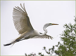 Great_White_Egret1.jpg