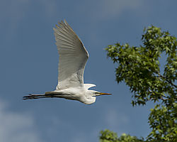 Great_Egret_Harris_Neck_Refuge2.jpg