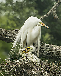 Great_Egret_and_chicks_St_Augustine_Alligator_Farm.jpg