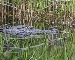 Okefenokee_alligator.jpg