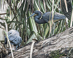 Tri-colored_Heron2_St_Augustine_Alligator_Farm.jpg