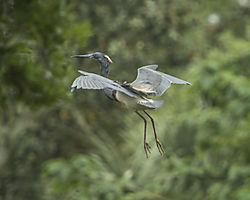 Tri-colored_Heron_landing_St_Augustine_Alligator_Farm.jpg
