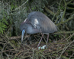 Tri-colored_Heron_nesting_St_Augustine_Alligator_Farm.jpg