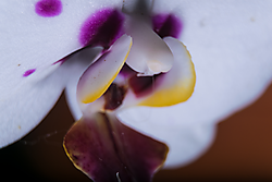 Orchid001.png
