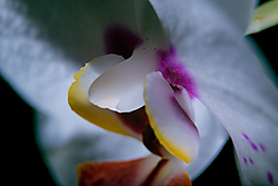 Orchid003.png