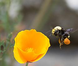 Bee-facing-left_1CN0348.jpg