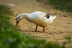 Duck_b.jpg