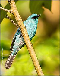Travel-Bird-Flycatcher_Verditer-May_24_2015-2-f.jpg