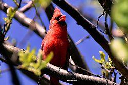 Cardinal_April_2015-16-N.jpg