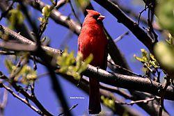 Cardinal_April_2015-17-N.jpg