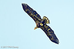 Eagle_with_fish-1-4.jpg