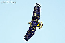 Eagle_with_fish-1.jpg