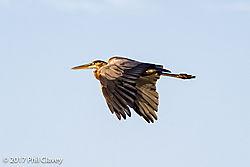 Great_Blue_Heron-1-15.jpg