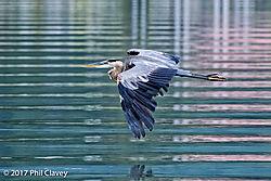 Great_Blue_Heron-1-9.jpg