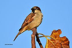 House_sparrow_November_2015_3-S.jpg