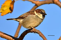 House_sparrow_November_2015_5-S.jpg