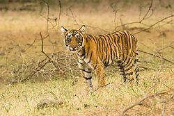 016_Bengal_Tiger_Eyes_on_You_-_Ranthambore_Nat_l_Park_India_2014.jpg