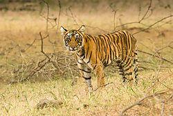 016_Bengal_Tiger_Eyes_on_You_-_Ranthambore_Nat_l_Park_India_2014.jpg