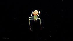 Spider_on_black-N.jpg