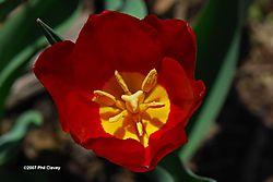 Tulip_Inside-N.jpg