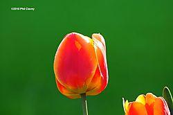 Tulips_2010_2-N.jpg
